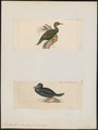 Graculus glaucus - 1700-1880 - Print - Iconographia Zoologica - Special Collections University of Amsterdam - UBA01 IZ18000107.tif