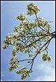 Grafton White Jacaranda-09 (22102124284).jpg