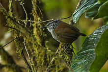 Gray-breasted Wood-Wren - Colombia S4E9753 (16982145839).jpg