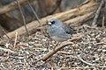 Gray-headed junco standing on a branch at Randall Davey Audubon Center.jpg