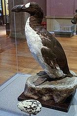 Great Auk (Pinguinis impennis) specimen, Kelvingrove, Glasgow - geograph.org.uk - 1108249.jpg