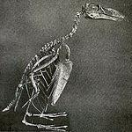 Great Auk skeleton.jpg