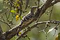 Great Bowerbird - Mareeba Wetlands - Queensland S4E9116 (21710611764).jpg