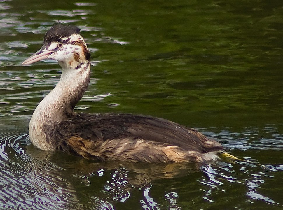 Great Crested Grebe - 24896
