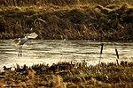 Great Egret - Rutland Water (16330187186).jpg