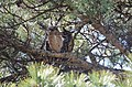 Great Horned Owl Mom with Fledge (13790014223).jpg