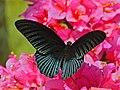 Great Mormon (Papilio memnon) (8073975758).jpg