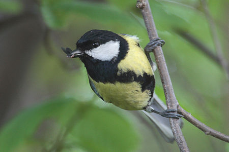 Great Tit Lodz(Poland)(js)05.jpg