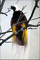 Greater Bird of Paradise (Paradisaea apoda) - Male.jpg