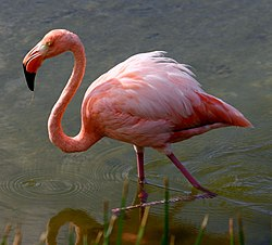 Greater flamingo galapagos.JPG