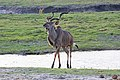 Greater kudu in Chobe National Park 01.jpg
