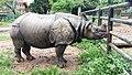 Greater one-horned Rhinoceros, central zoo.jpg