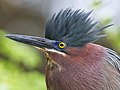 Green Heron by Dan Pancamo 1.jpg