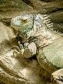 Green Iguana (19639430111).jpg