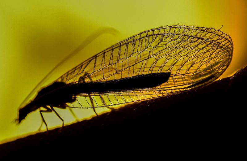 File:Green lacewing 2.jpg