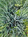 Green plant texture long thin leaves grass like.jpg
