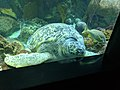 Green sea turtle - giant 2.jpg