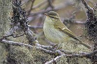 Greenish Warbler Sikkim India 11.05.2014.jpg