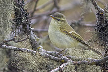 Greenish warbler nominate race P. trochiloides trochiloides adult from Pangolakha Wildlife Sanctuary, Sikkim, India