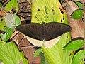 Grey Count Tanaecia lepidea by Raju Kasambe DSCN3072 (6).jpg