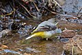 Grey wagtail (Motacilla cinerea) from nilgiris DSC 0771.jpg