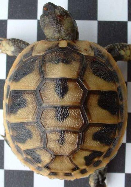 Schildkröten - Wikiwand
