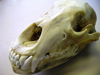 Infraorbital foramen - Image: Grizzly skull