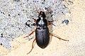 Ground Beetle - Harpalus species, Woodbridge, Virginia (24167862827).jpg