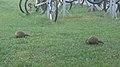 Groundhogs (Marmota monax) - Thunder Bay, Ontario.jpg
