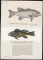 Grystes salmoinodes - - Print - Iconographia Zoologica - Special Collections University of Amsterdam - UBA01 IZ13000076.tif