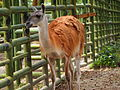 Guanaco at National Zoo Malaysia.jpg