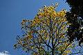 Guayacán amarillo (Tabebuia chrysantha) (14763281073).jpg