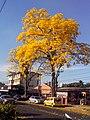 Guayacan, Camino Real, Bethania - panoramio.jpg