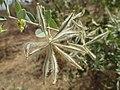 Guiera senegalensis Bazan.jpg