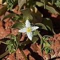 Gunniopsis papillata.jpg