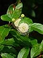Guzikowiec zachodni. (Cephalanthus occidentalis) 02.jpg