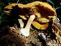 Gymnopilus penetrans, Krantzkloof NR, b.jpg