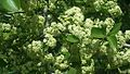 Gymnosporia heterophylla04.jpg