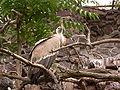 Gyps fulvus engl. Griffon Vulture, dt. Gänsegeier.JPG