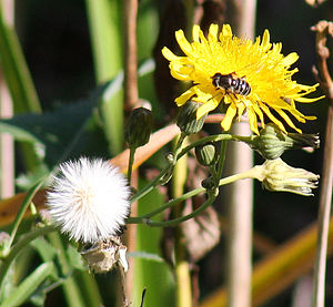 Taraxacum - Hawksbeard flower heads and ripe seeds are sometimes confused with dandelions.