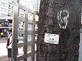 HK 灣仔 Wan Chai 修頓球場 Southorn Playground October 2017 IX1 Candlenut 石栗樹 Aleurites moluccana tree trunk sign.jpg