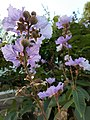 HK SSP 深水埗 Sham Shui Po 長沙灣道 Cheung Sha Wan Road 元州邨 Un Chau Estate 大葉紫微 purple flowers June 2020 SS2 20.jpg