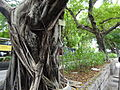 HK TST Nathan Road green Sidewalk Chinese Banyan trees Aug-2015 DSC (18).JPG
