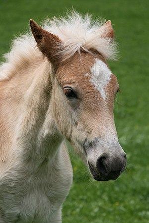 Haflinger Foals