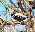 Hairy woodpecker dining (22756298784).jpg