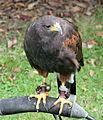 Harris Hawk (2692196219).jpg