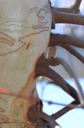 Haustorium - Haustoria of creeping mistletoe in a scribbly gum