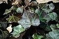 Hedera helix (English ivy) (Middletown, Ohio, USA) 2 (49113912722).jpg