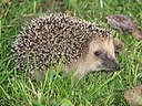 Hedgehog germany0908