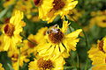 Helenium autumnale-IMG 6132.jpg